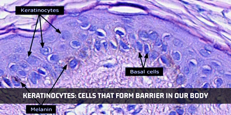 Looking At The Cells That Form The Barrier In Our Body: Keratinocytes