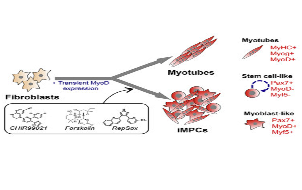 The Promise Of Mouse Skeletal Muscles Fibroblasts