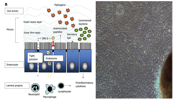 Culturing the multi-faceted enterocytes