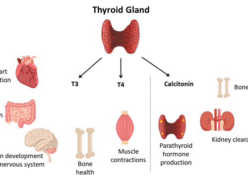 "Culturing the regulators of metabolism of the ""butterfly"" gland- thyroid cells"
