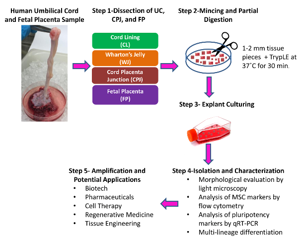 Human Umbilical Cord derived Mesenchymal Stem Cells