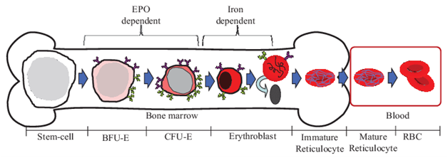 The promise of Bone Marrow Erythroblast Cells for treating haematological diseases