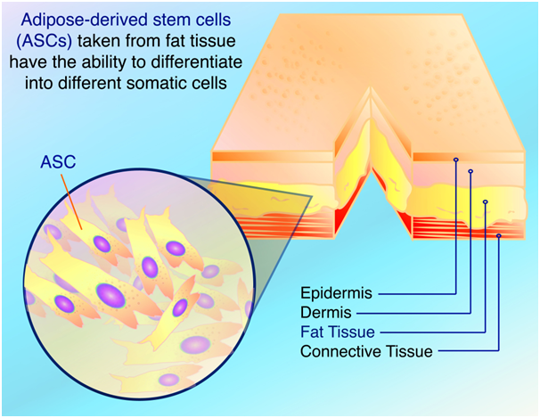 Adipose Mesenchymal Stem Cells: Get Set Go
