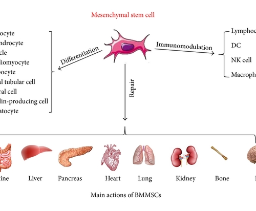 Repairing Organs With Mesenchymal Stem Cells (MSCs)
