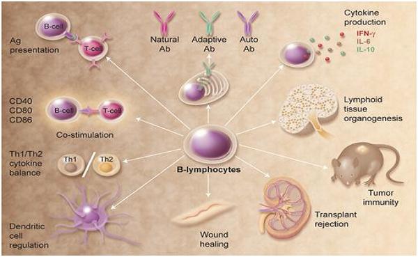 Studying B lymphocytes