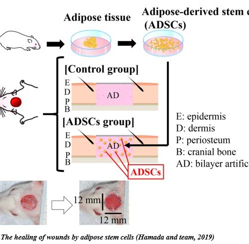 Adipose stem cells for the skin