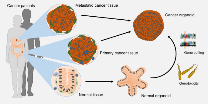 How Tumor Organoid Applications Help In Cancer Research