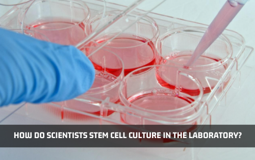 How Do Scientists Culture Stem Cells In The Laboratory?
