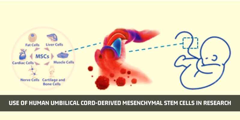 How Human Umbilical Cord-derived Mesenchymal Stem Cells Used In Research?