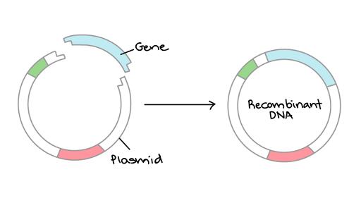 Viral Genes Cycle - Kosheeka