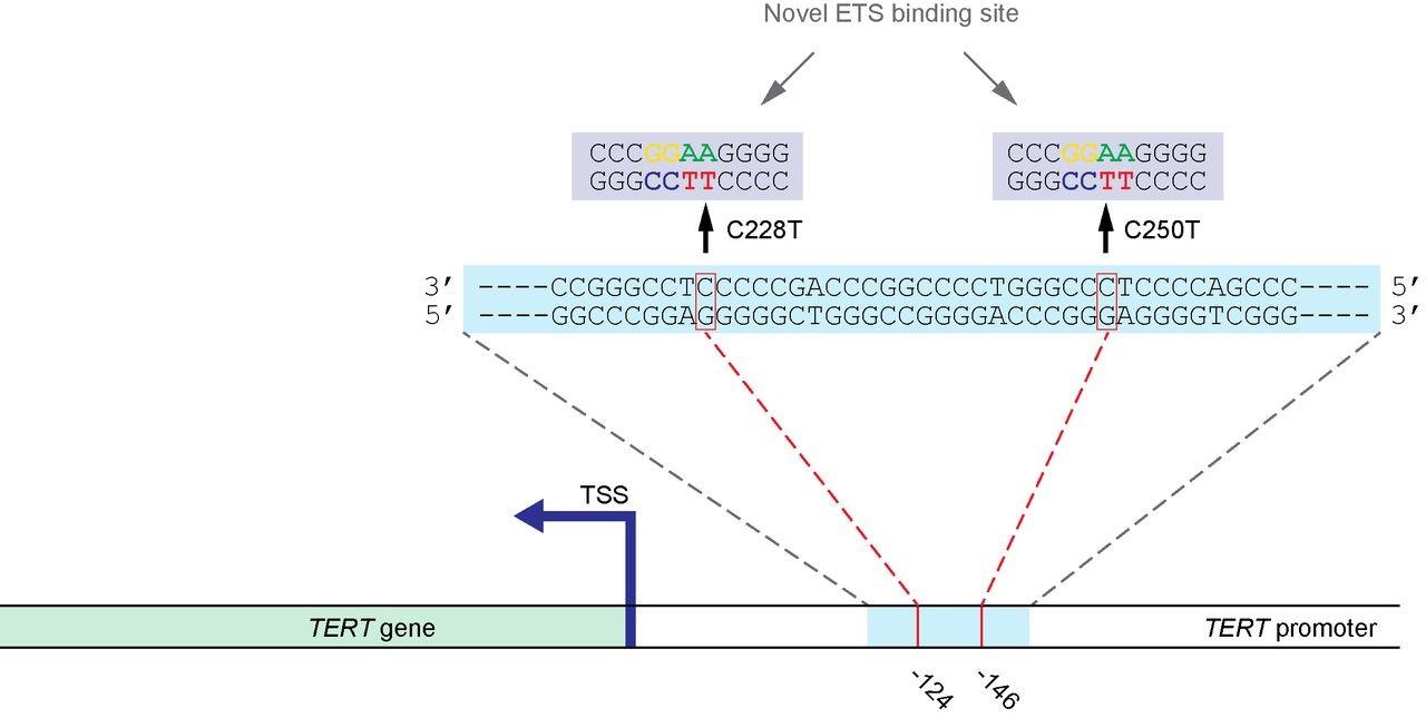 Telomerase Reverse Transcriptase (TERT) Expression - Kosheeka