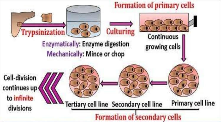 Human Primary Cells Vs Immortal Cell Lines