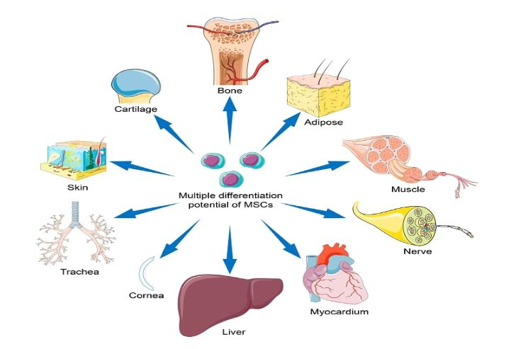 Multiple Differentiation Potential of MSCs
