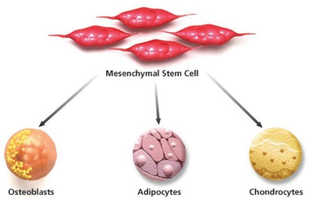 Human Peripheral Blood mesenchymal stem cells
